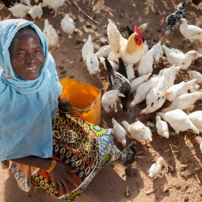 Opportunities offered by smallholder chicken farming in Africa